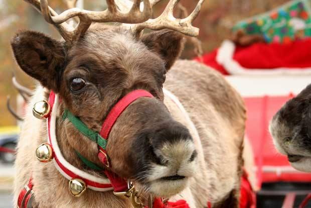 reindeer winterfestoc