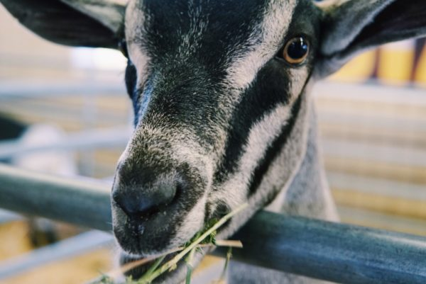 A Gallery of all the Fun & Food from This Years OC Fair Visit 4