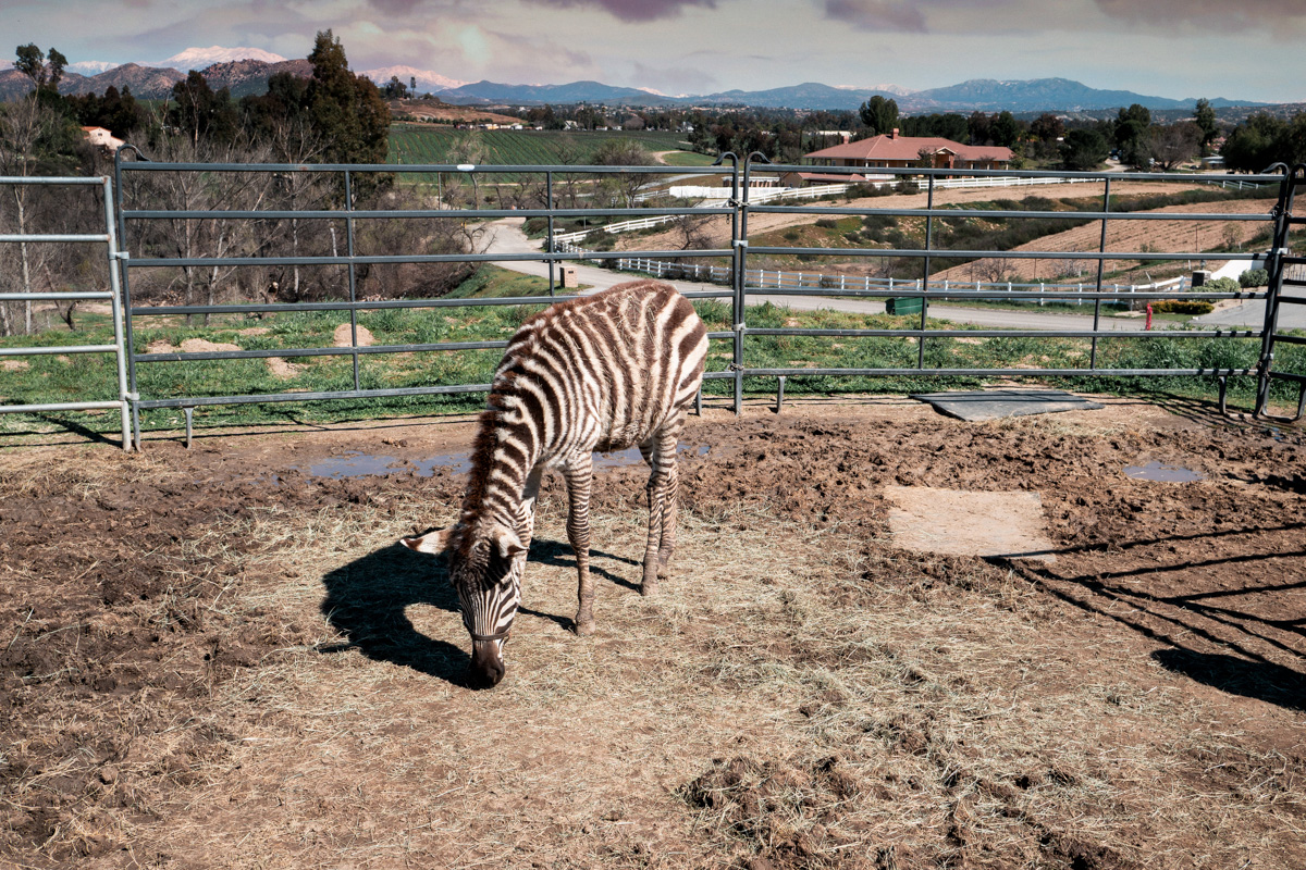 temecula-zebra