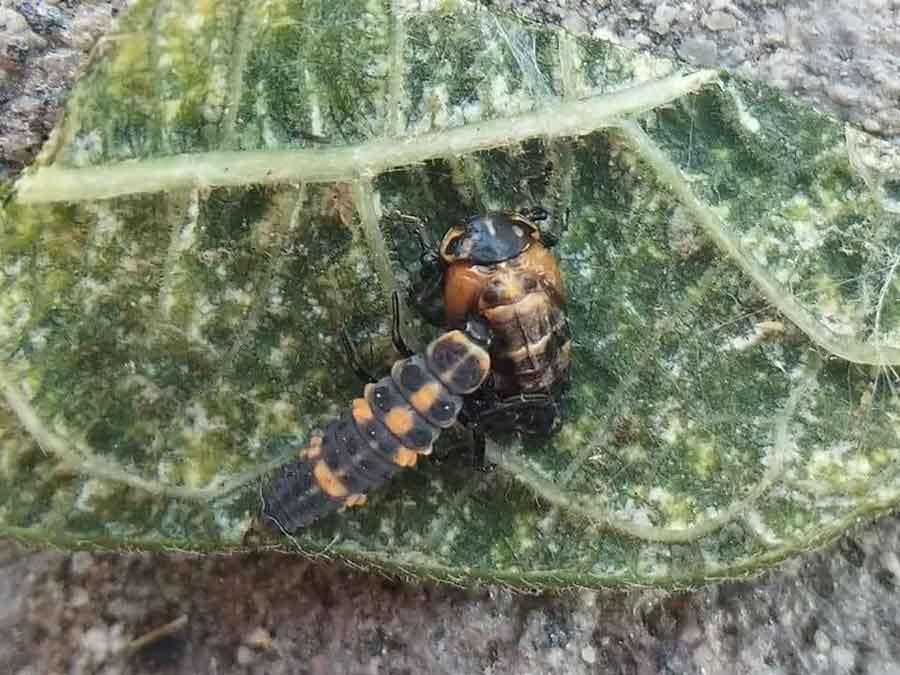 ladybug larvae eating a pupa