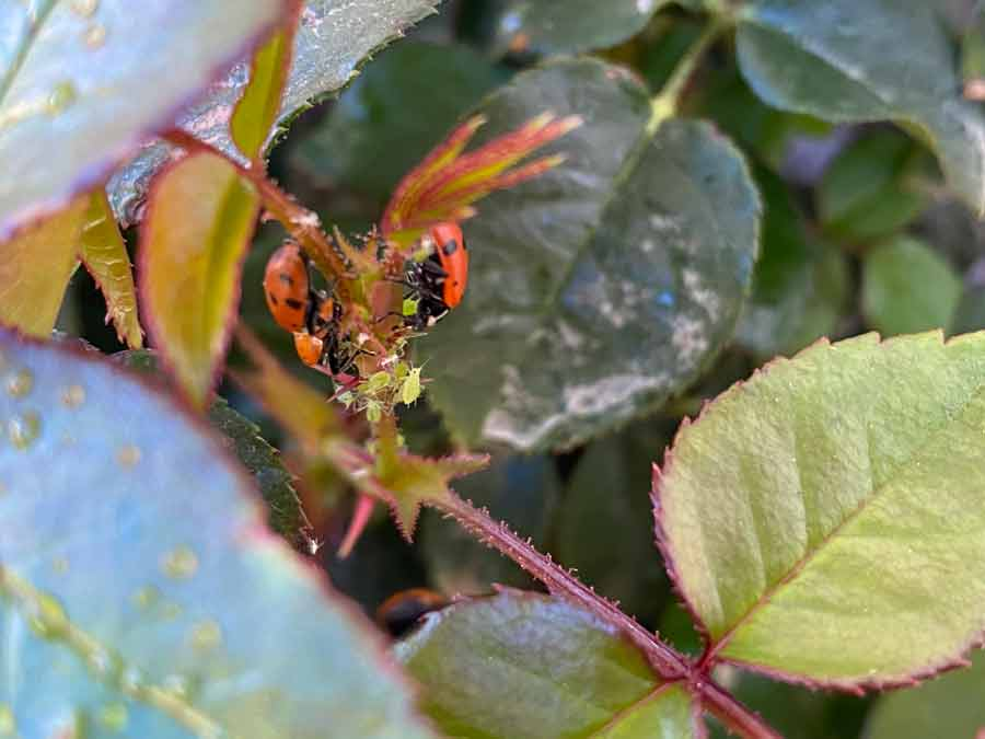 ladybugs eating aphids