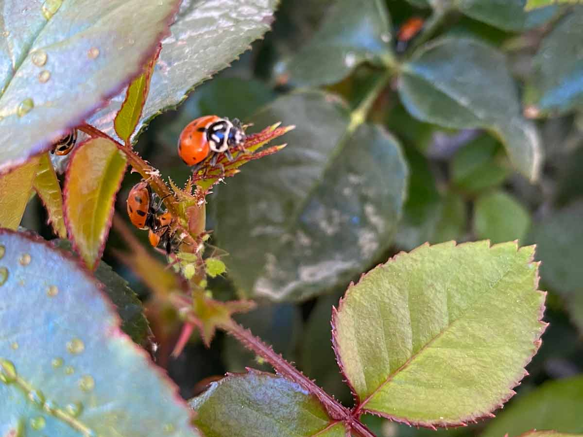 Why You Should Put Ladybugs in the Garden and How to Keep Them There