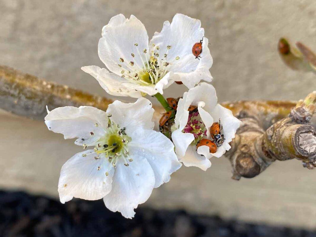 ladybugs in a flower